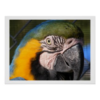 Blue and Gold Macaw Parrot Posters