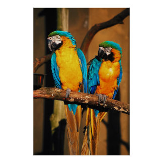 Blue and gold macaw parrots Poster