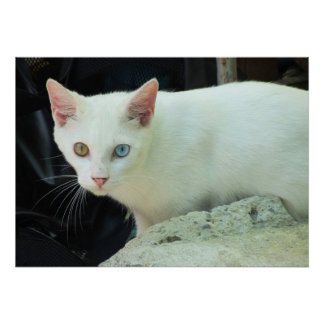 Blue And Green Eyed Cat Poster