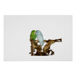 Blue and Green Parrotlets Poster