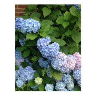 Blue And Pink Hydrangeas Postcard