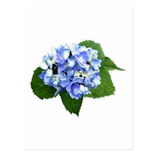 Blue and Purple Hydrangea Postcard