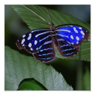 Blue and White Butterfly Poster