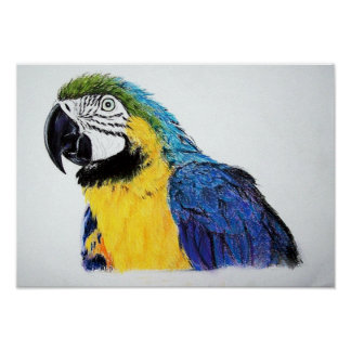 Blue And Yellow Amazon Parrot Bird Poster Print