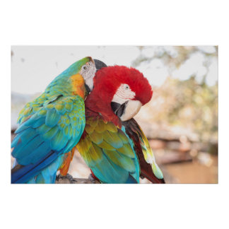 Blue-and-Yellow Macaw and Scarlett Macaw Poster