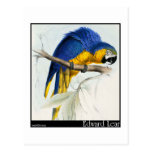 Blue and Yellow Macaw Post Card