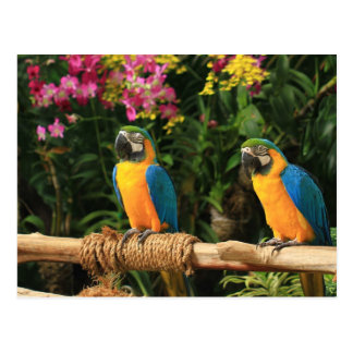 Blue and Yellow Macaw  Postcard