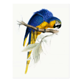 Blue and Yellow Macaw Vintage Postcard