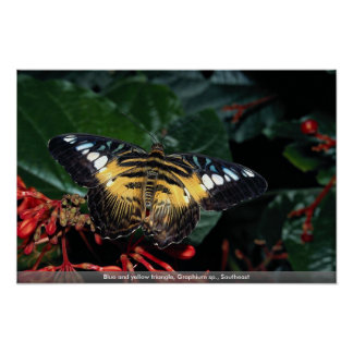 Blue and yellow triangle Graphium sp Southeast Poster