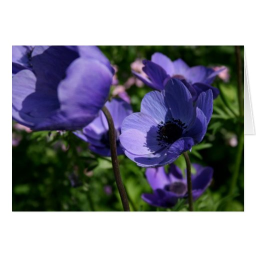 Blue Anemones - Floral Photography Card