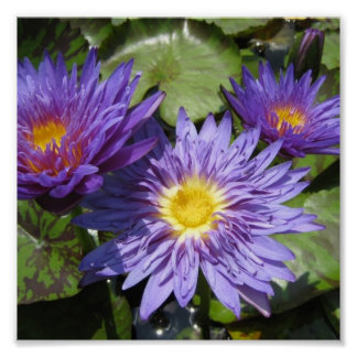 Blue Aster Poster