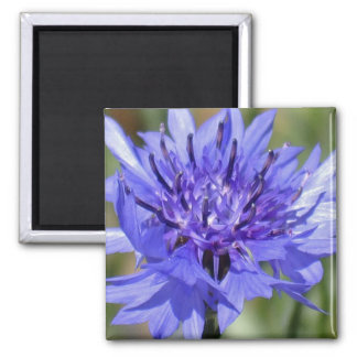 Blue Bachelor Button Flower 2 Inch Square Magnet