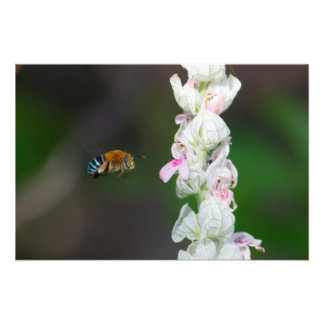 Blue-banded Bee Photo Art