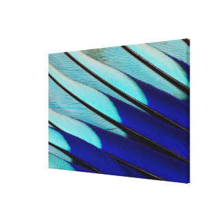 Blue-bellied Roller feathers Canvas Print