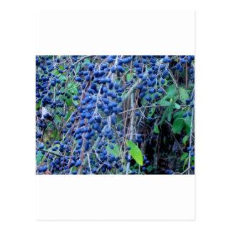 Blue Berries 2 Postcard