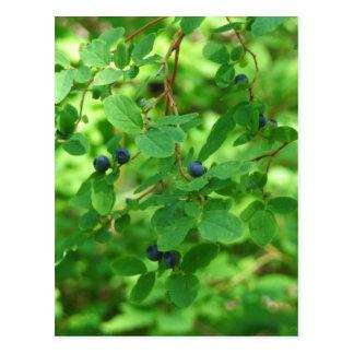 Blue Berries Postcard
