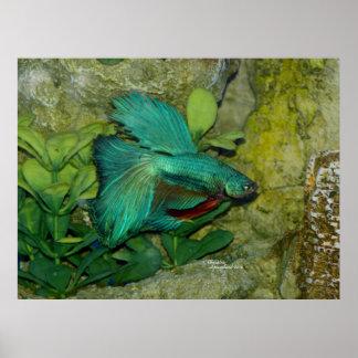 Blue Betta fish Print or Poster