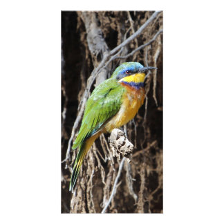 Blue-breasted Bee-eater Card