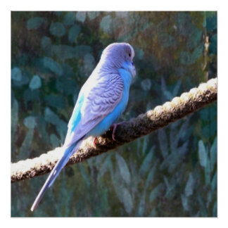 Blue Budgie Perfect Poster