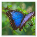 Blue Butterfly Photo Print