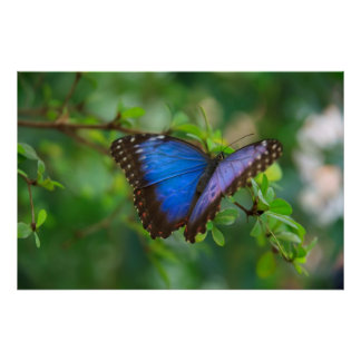 Blue Butterfly Poster Posters