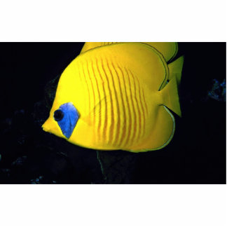 Blue cheed (masked) butterfly fish, Red Sea, Egypt Photo Cut Outs