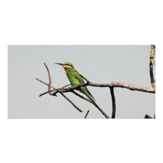 Blue-cheeked Bee-eater Card