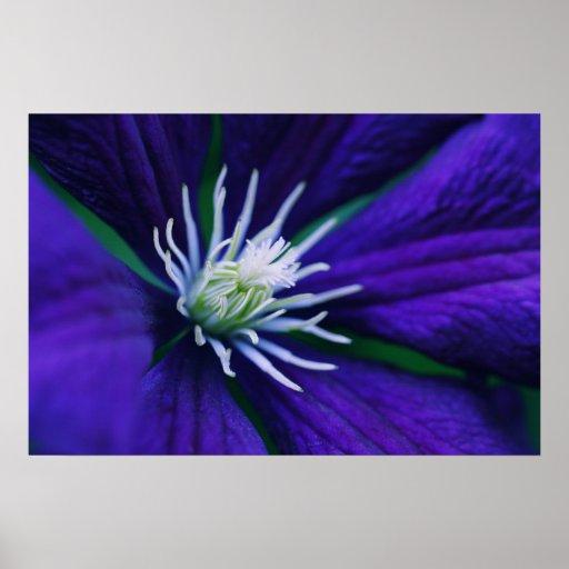 Blue Clematis macro Poster