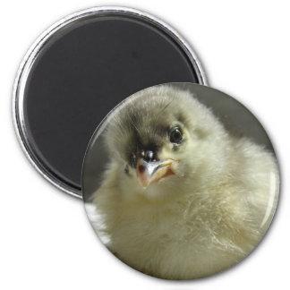 Blue Cochin Chick Magnet