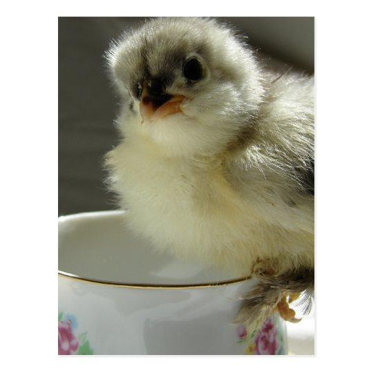 Blue Cochin Chick on Teacup Postcard