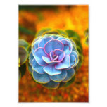 Blue Colored Echeveria Photo Print