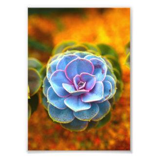 Blue Colored Echeveria Photo Art