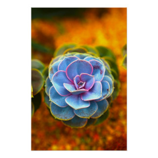 Blue Colored Echeveria Poster