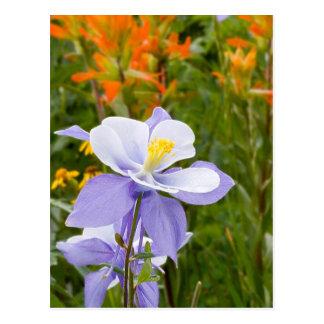 Blue Columbine Postcard