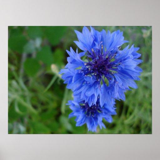 Blue Cornflower Poster