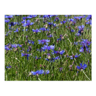 Blue cornflowers in a field postcard