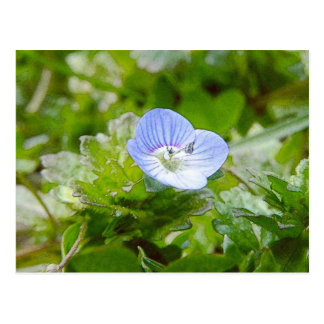 Blue Creeping Speedwell Blooms Postcard