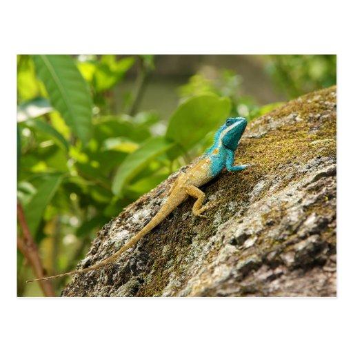Blue-Crested Lizard Calotes Mystaceus Post Card