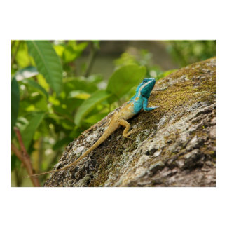 Blue-Crested Lizard Calotes Mystaceus Posters