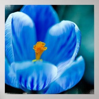Blue Crocus Poster
