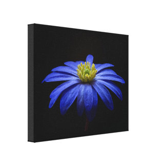 Blue Daisy Gerbera Flower on a Black background Canvas Print