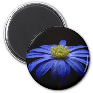 Blue Daisy Gerbera Flower on a Black background Refrigerator Magnet