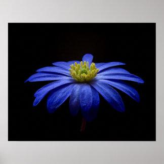Blue Daisy Gerbera Flower on a Black background Poster