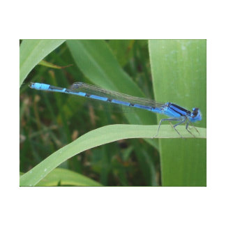 Blue Damselfly at Rest Canvas Print