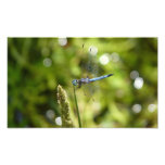 blue dasher dragonfly photo print