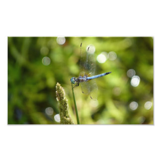 blue dasher dragonfly photo