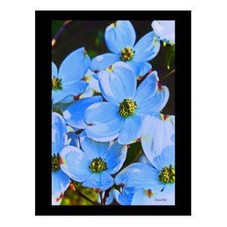 Blue Dogwood Postcard