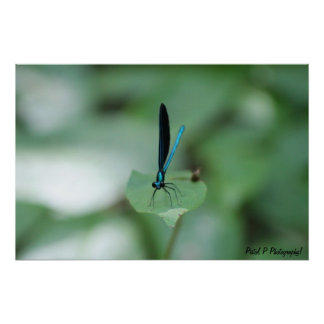 Blue Dragon Fly Poster