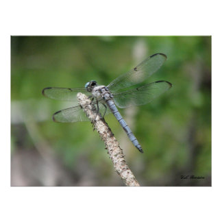 Blue Dragonfly on Perch Poster