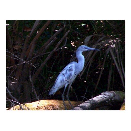Blue Egret Postcard